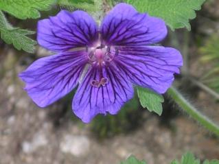 geranium vivace - Page 3 Imgp0135