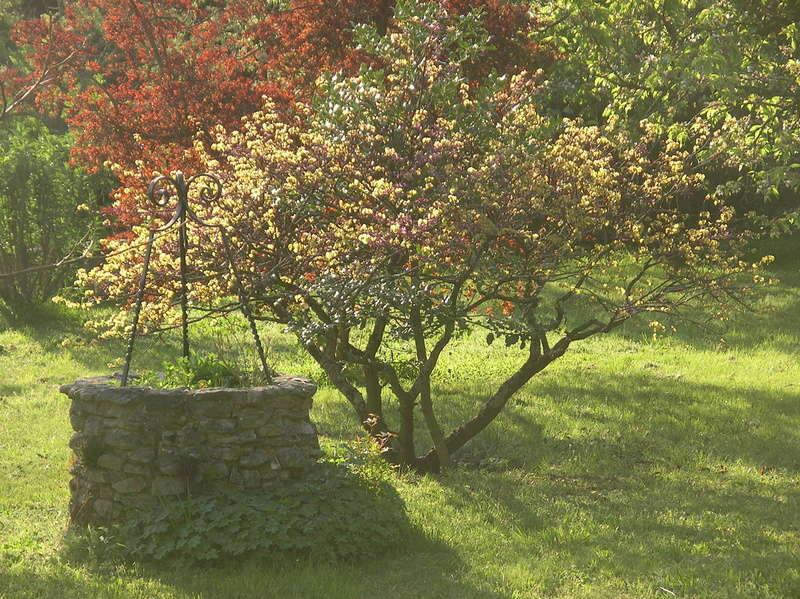 l'arbre de Judée Imgp0299