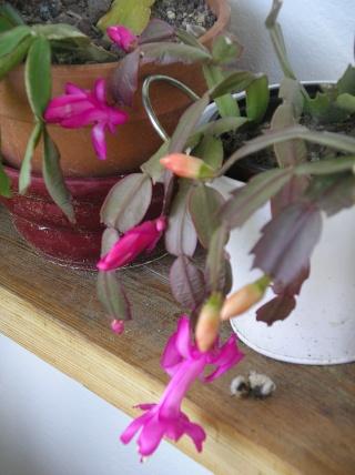 floraison d'un Schlumbergera Imgp9021