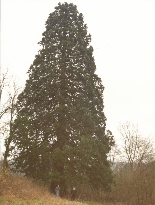 Sequoiadendron giganteum - séquoia géant Scan0013
