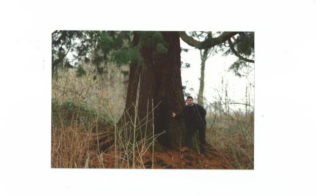 Sequoiadendron giganteum - séquoia géant Scan0015