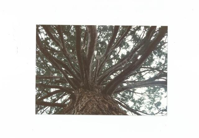 Sequoiadendron giganteum - séquoia géant Scan0017