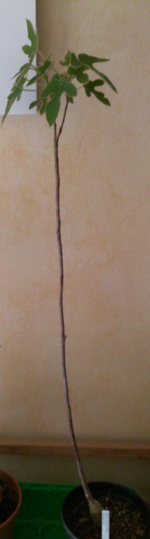 Brachychiton rupestris Week-e10