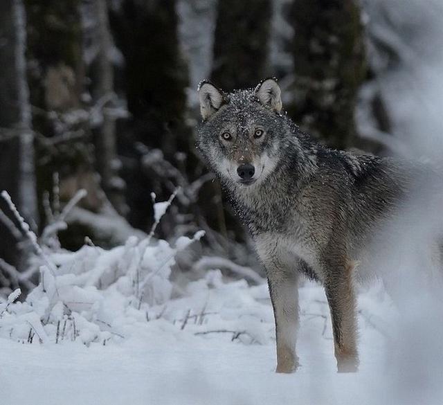Loup... 4_avri10