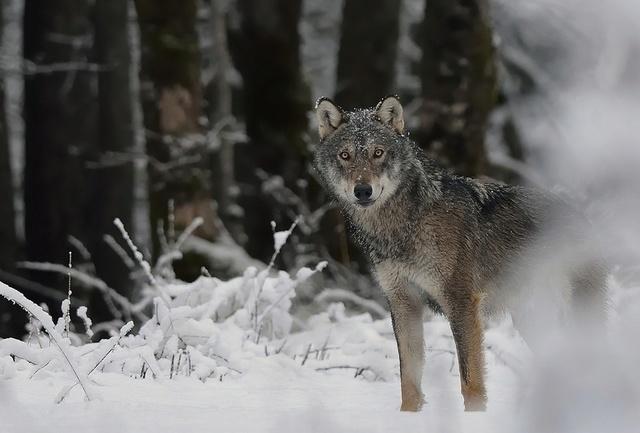 Loup... 4_avri11