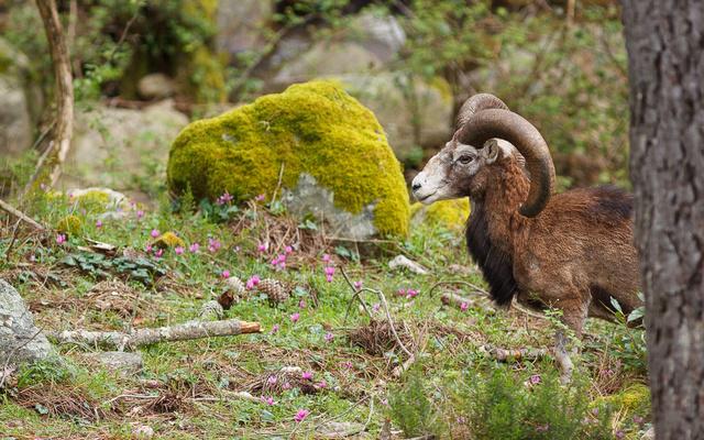 Mouflon curieux Mars_611