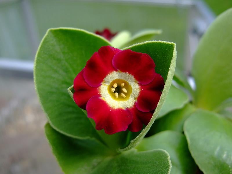 Gattung Primula - Primeln, Aurikeln, Schlüsselblumen - Seite 2 Dscf7129