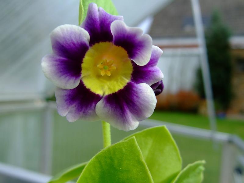 Gattung Primula - Primeln, Aurikeln, Schlüsselblumen - Seite 2 Dscf7130