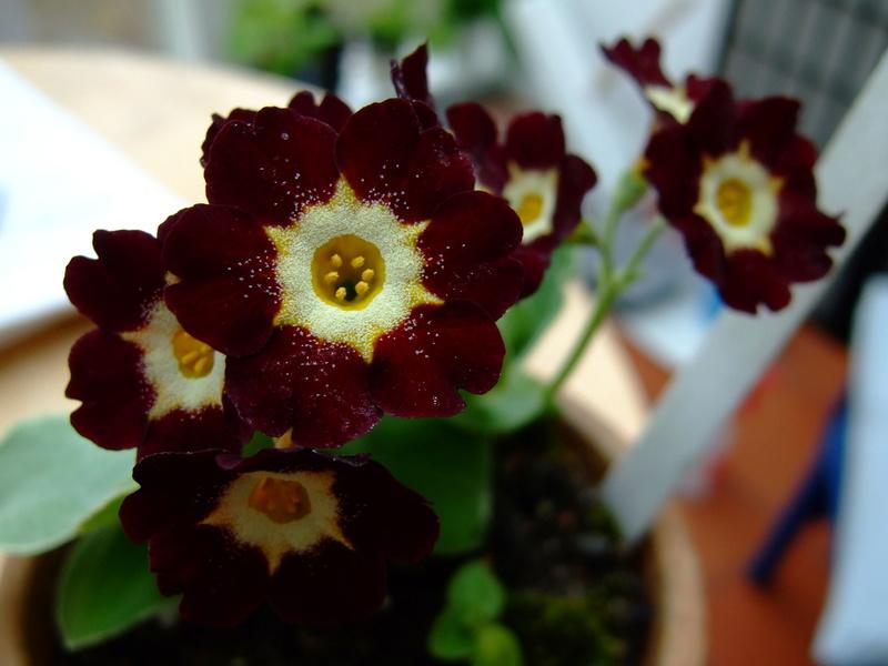 Gattung Primula - Primeln, Aurikeln, Schlüsselblumen - Seite 2 Dscf7131