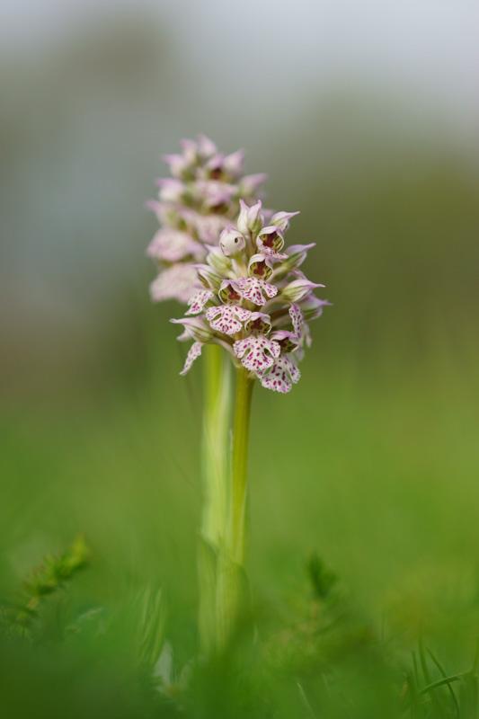 Neotinea lactea ( Orchis couleur de lait ) Dsc05511