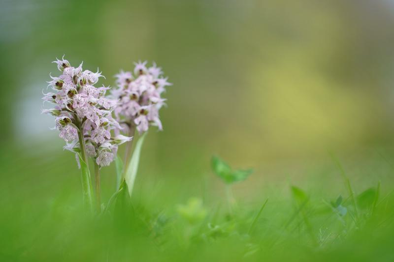 Neotinea lactea ( Orchis couleur de lait ) Dsc05610