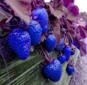 Avez vous déja vu des fraises bleues ? Astuce11