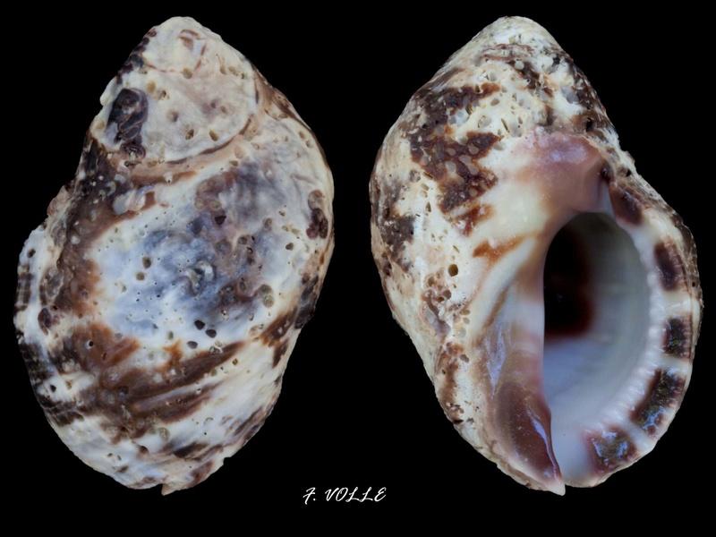 Menathais tuberosa 40mm_r10