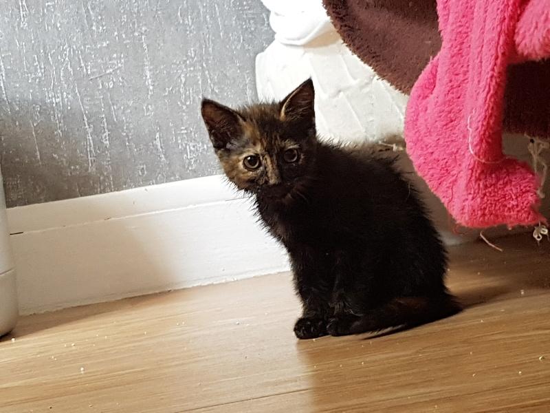 Naima chatonne née le 2 avril 2017 Ecaille de Tortue 20170610