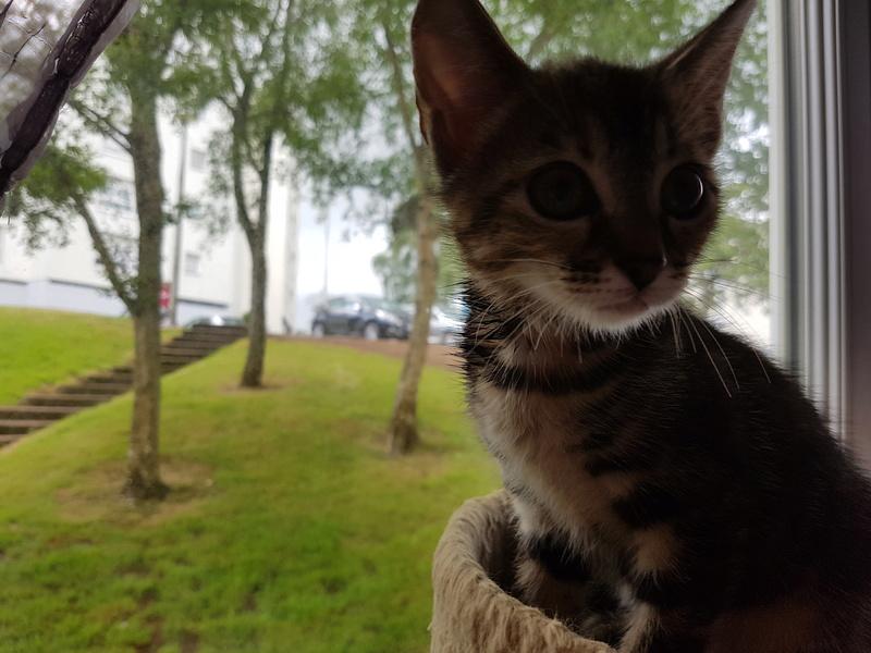 Nina chatonne néé le 2 avril 2017 Tigrée Grise  20170616