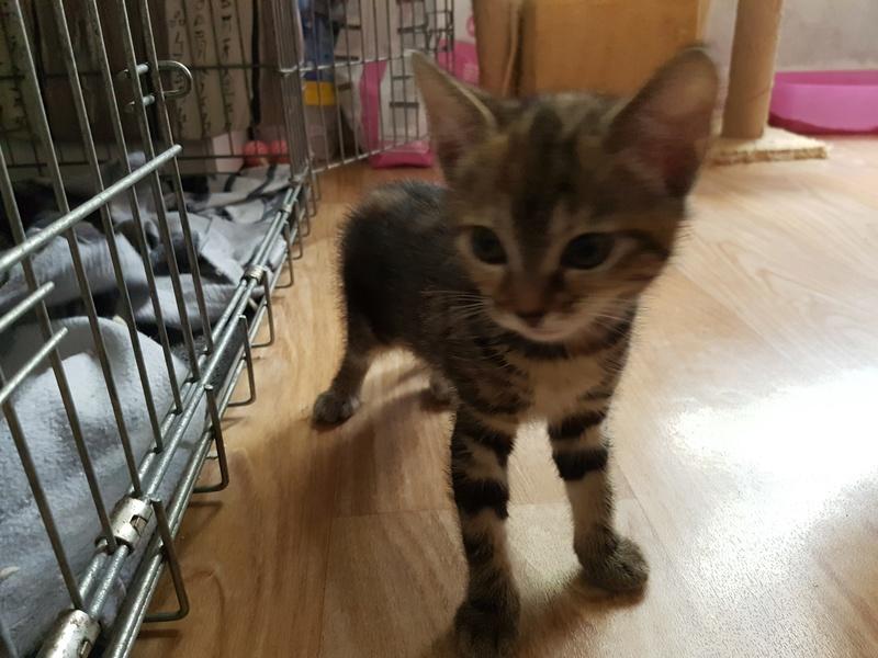 Nina chatonne néé le 2 avril 2017 Tigrée Grise  20170617