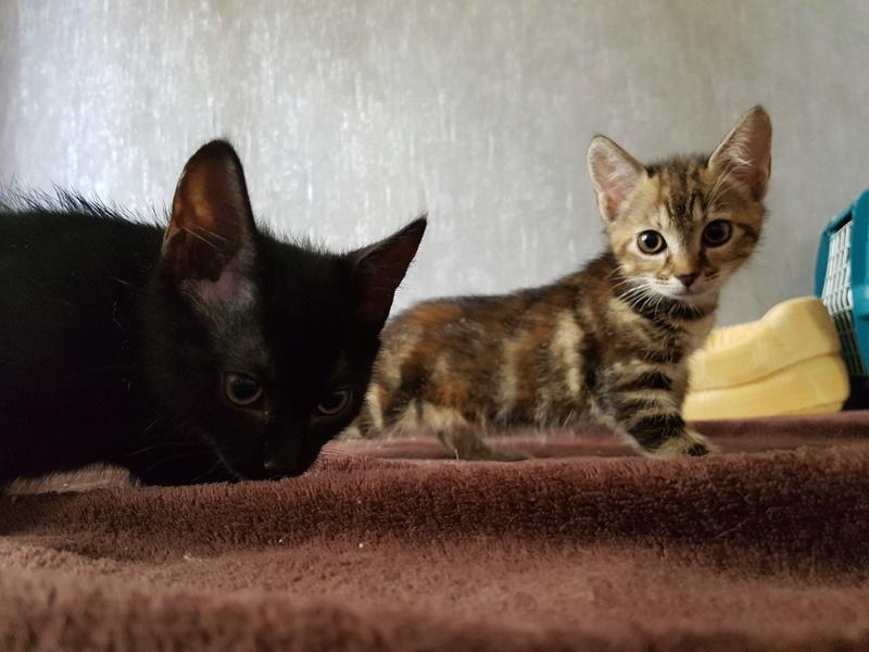 Nina chatonne néé le 2 avril 2017 Tigrée Grise  20170618