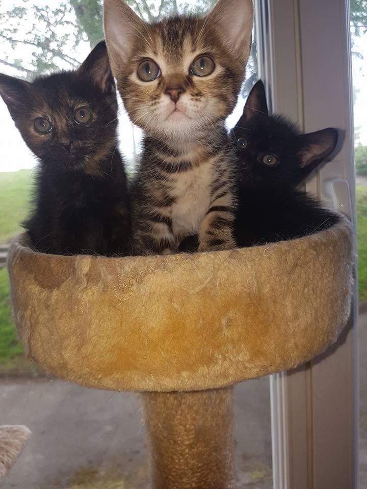 Nina chatonne néé le 2 avril 2017 Tigrée Grise  Fb_img12