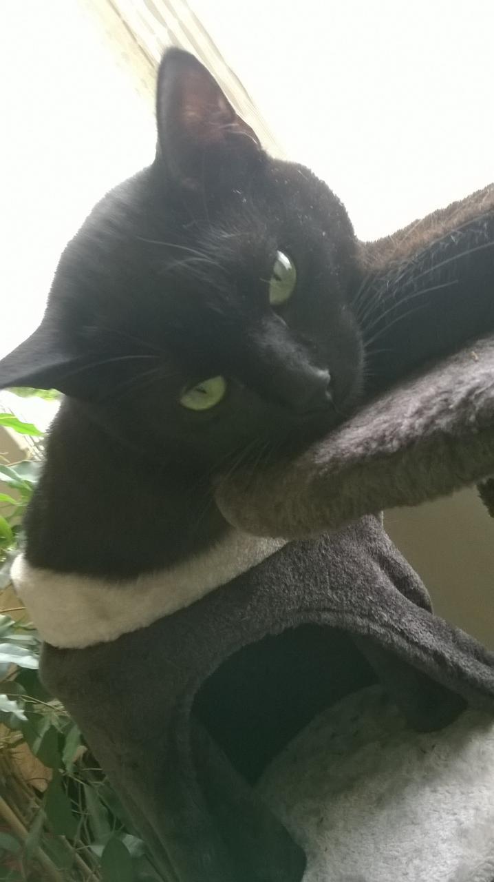 mambo - MAMBO, chaton européen noir, né mai 2016 Fot49710
