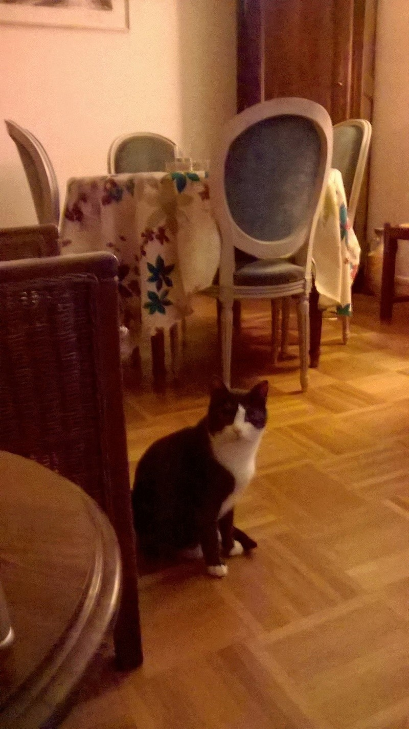 jacadi - JACADI, chat européen gris & blanc, né en déc 2014. Fotdbc10