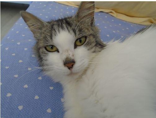 HARIETTE, chatte européenne, poils mi-longs, tabby grise&blanche, née en 2012 Hariet14