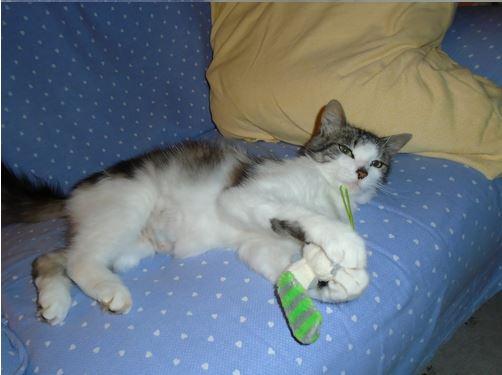 HARIETTE, chatte européenne, poils mi-longs, tabby grise&blanche, née en 2012 Hariet15