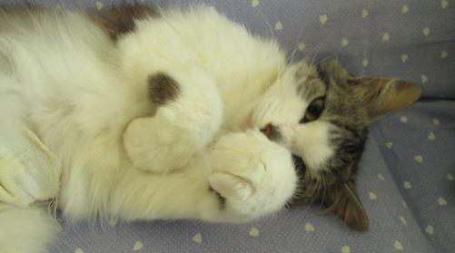 HARIETTE, chatte européenne, poils mi-longs, tabby grise&blanche, née en 2012 Hariet18