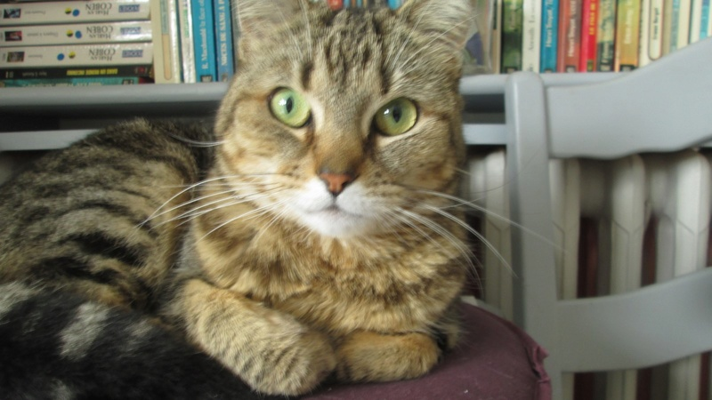 ISA, chatte européenne, marron tabby, née en 2013 Img_5711