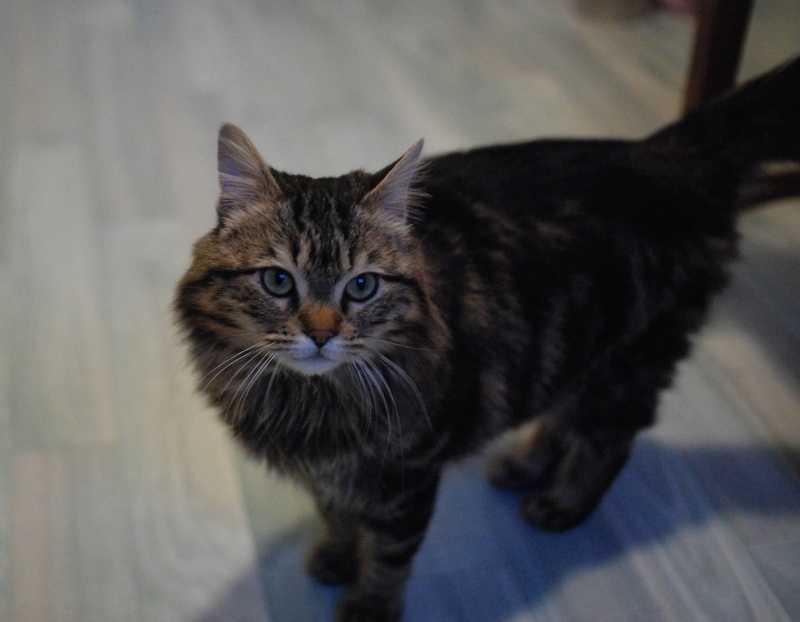 iron - IRON, chat européen, poils mi-longs marron tabby, né en mars 2013. Iron_111