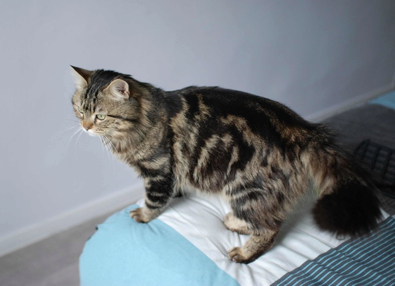 iron - IRON, chat européen, poils mi-longs marron tabby, né en mars 2013. Iron_115