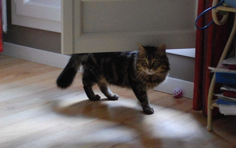 iron - IRON, chat européen, poils mi-longs marron tabby, né en mars 2013. Iron_116