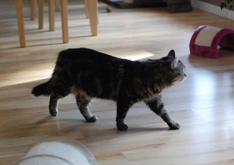 iron - IRON, chat européen, poils mi-longs marron tabby, né en mars 2013. Iron_117