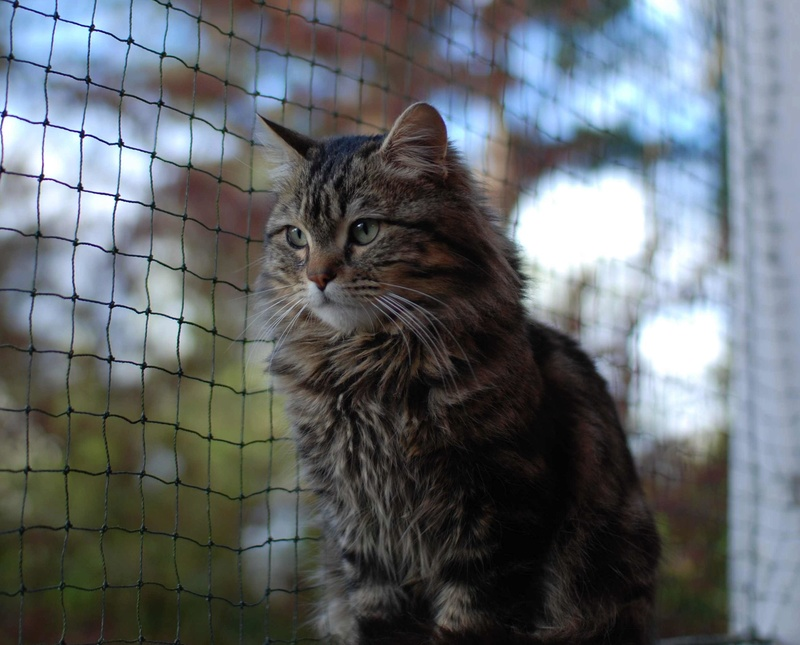 iron - IRON, chat européen, poils mi-longs marron tabby, né en mars 2013. Iron_118