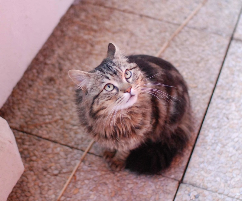 iron - IRON, chat européen, poils mi-longs marron tabby, né en mars 2013. Iron_119