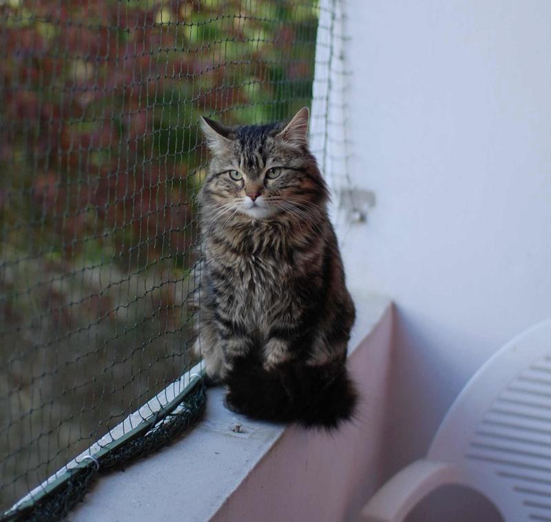iron - IRON, chat européen, poils mi-longs marron tabby, né en mars 2013. Iron_120
