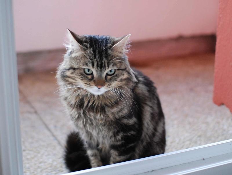 iron - IRON, chat européen, poils mi-longs marron tabby, né en mars 2013. Iron_121