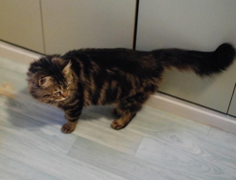 iron - IRON, chat européen, poils mi-longs marron tabby, né en mars 2013. Iron_211