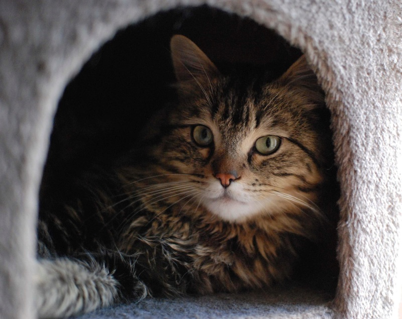 iron - IRON, chat européen, poils mi-longs marron tabby, né en mars 2013. Iron_212