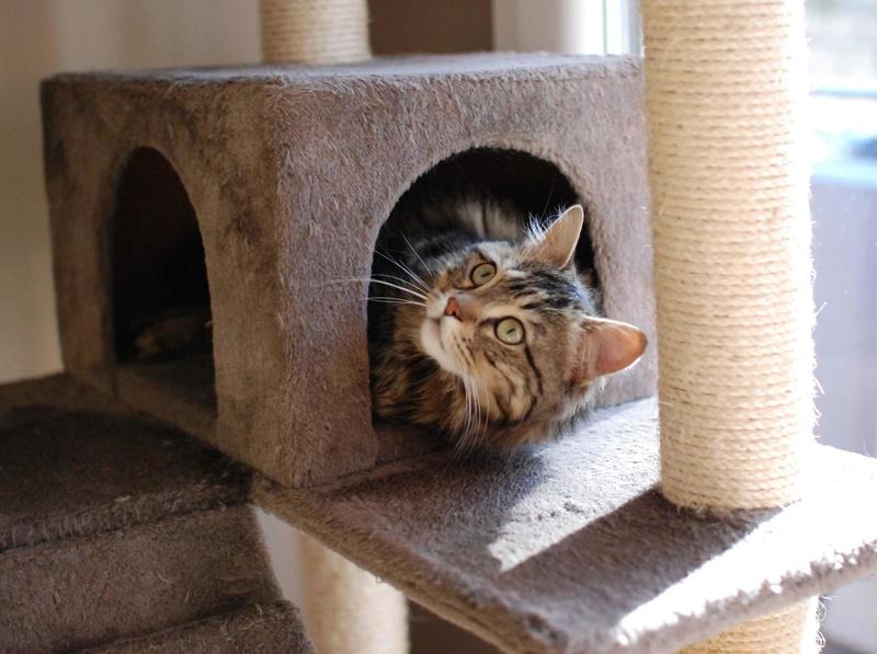 iron - IRON, chat européen, poils mi-longs marron tabby, né en mars 2013. Iron_213
