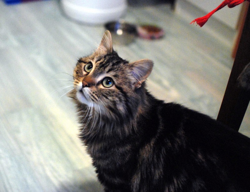 iron - IRON, chat européen, poils mi-longs marron tabby, né en mars 2013. Iron_410
