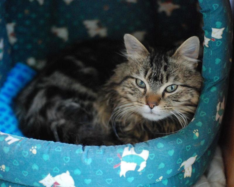 iron - IRON, chat européen, poils mi-longs marron tabby, né en mars 2013. Iron_610