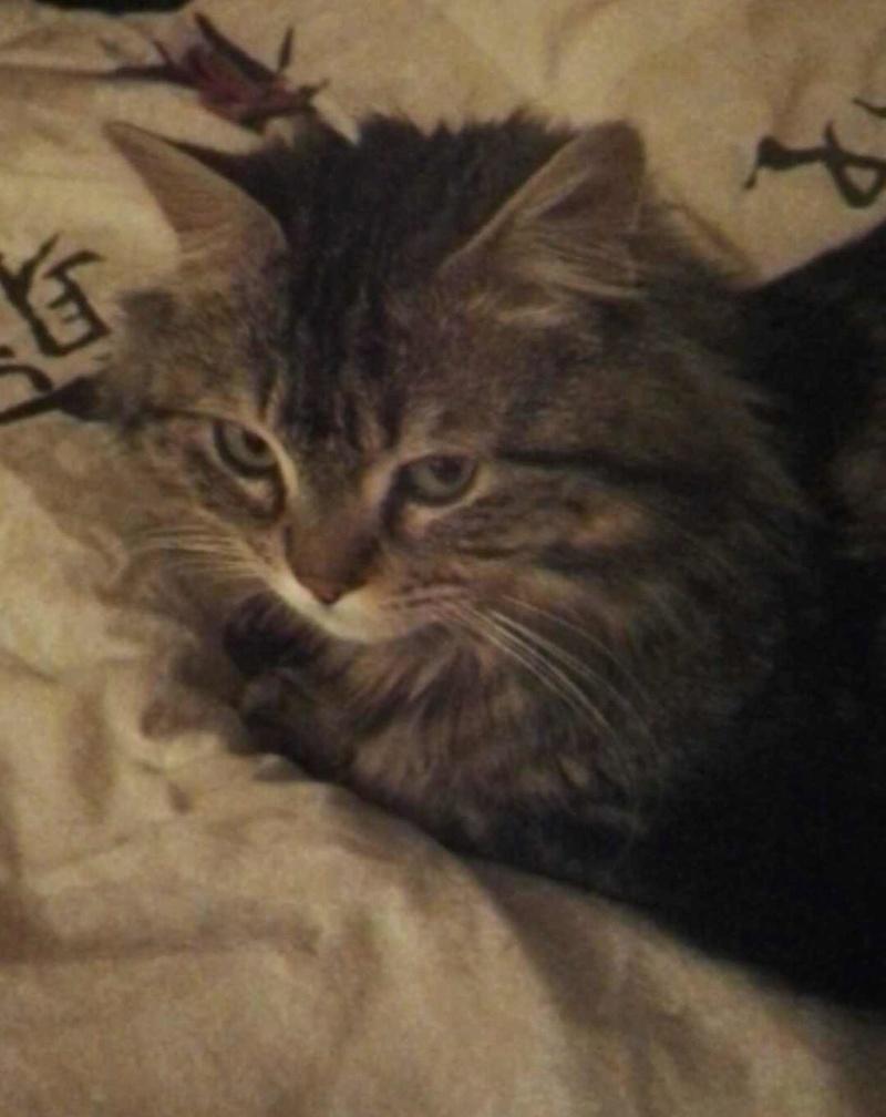 iron - IRON, chat européen, poils mi-longs marron tabby, né en mars 2013. Iron_a10