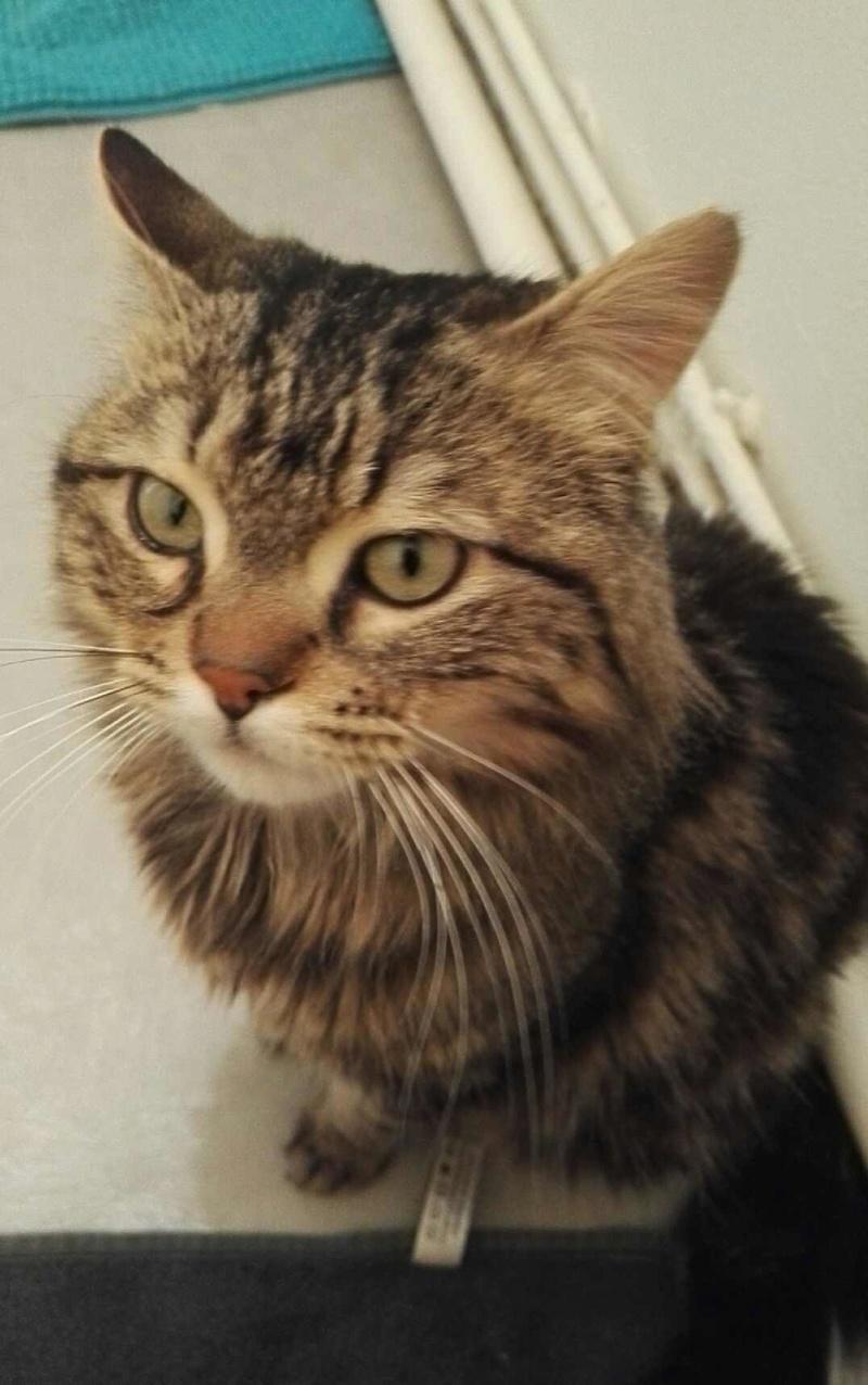 iron - IRON, chat européen, poils mi-longs marron tabby, né en mars 2013. Iron_a12