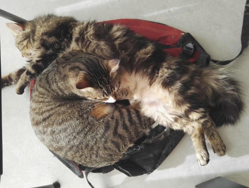 iron - IRON, chat européen, poils mi-longs marron tabby, né en mars 2013. Iron_a13