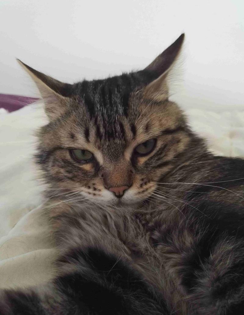 iron - IRON, chat européen, poils mi-longs marron tabby, né en mars 2013. Iron_a15
