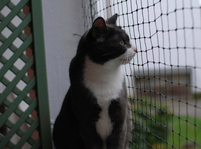 jacadi - JACADI, chat européen gris & blanc, né en déc 2014. Jacadi10