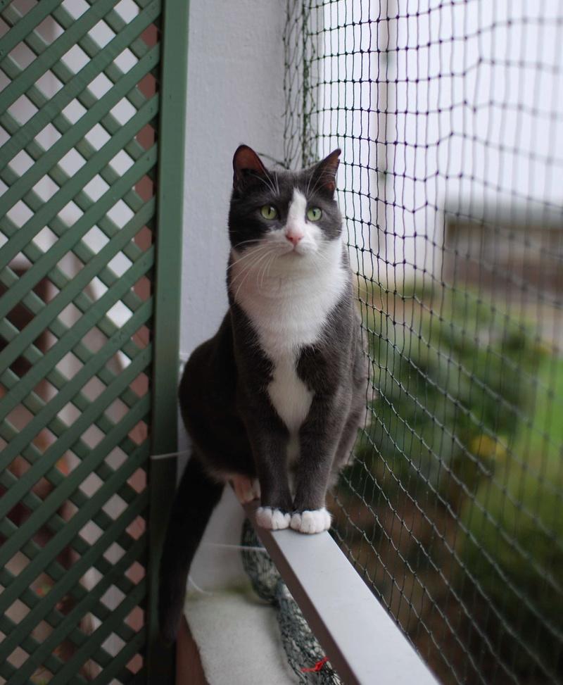 jacadi - JACADI, chat européen gris & blanc, né en déc 2014. Jacadi12