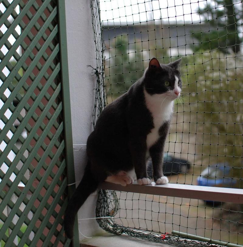 jacadi - JACADI, chat européen gris & blanc, né en déc 2014. Jacadi13