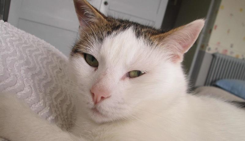 JENNIFER, chatte européenne blanche et tigrée, née en 2014. Jennif12