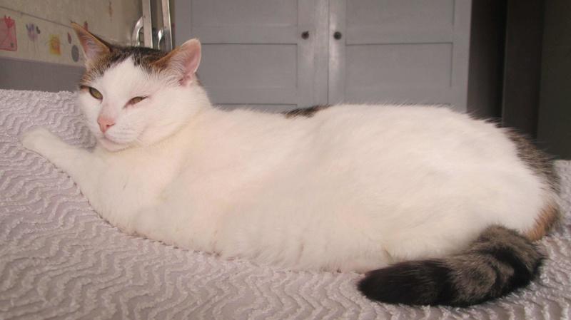 JENNIFER, chatte européenne blanche et tigrée, née en 2014. Jennif13